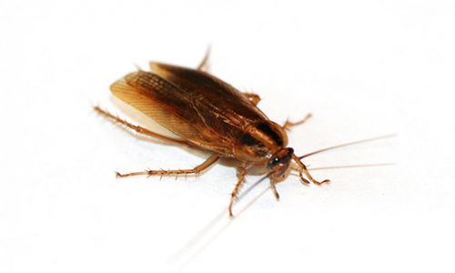 Alman Hamam Böceği İlaçlama