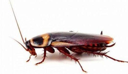 Amerikan Hamam Böceği İlaçlama